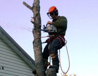 Chain saw cutting tree